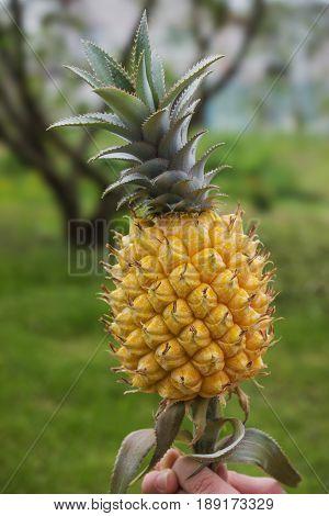 Yellow Pineapple On Background Of Garden