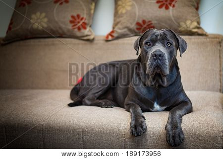 Stunning cane corso posing for a photography