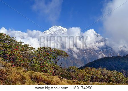 Mountain Landscape in Himalaya. Blooming of Rhododendron tree and Annapurna South peak. Nepal, Annapurna region, Mardi Himal track.