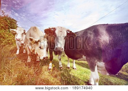 Close-up of cows in pen  against blue sky