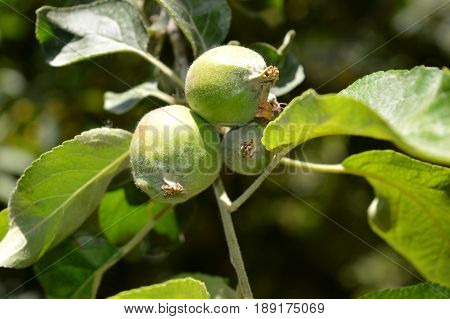 Orchard. Unripe apples. apple garden. apples on branch