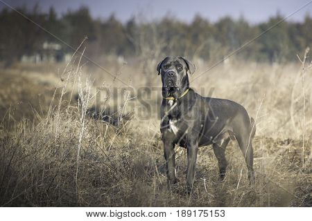 Stunning dark gray italian mastiff in the field during a obedience training