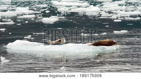 Uniquely marked sea lions rest on ice in Kenai Fjords