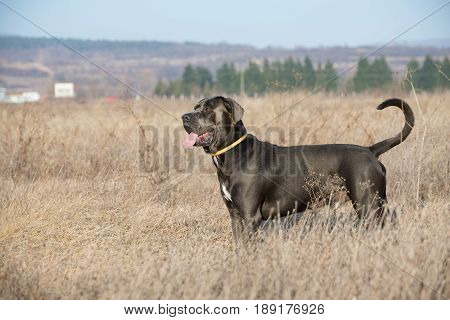 The young dog have a practice for standing in the correct position as for the exhibition