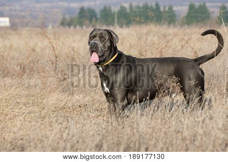 Beautiful dog in the dry grass guarding his territory