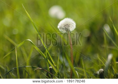 Close-up Dandelion. Nature dandelion. dandelion blowing seed
