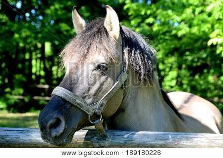 Horse with gray or mouse coat standing on a free run