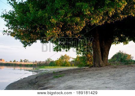 Huge beautiful tree on the river bank in the silence background