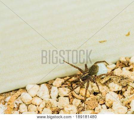 Closeup of a brown female spider carrying her egg sack over small rocks