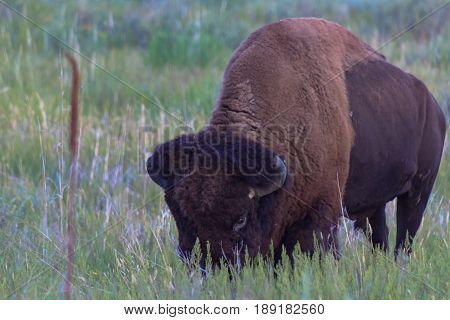 Bison grazing grass on the prarie keeping a watchful eye open.