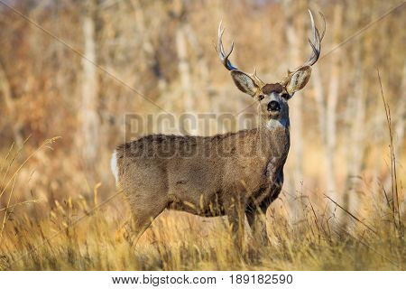 Regal 5-pointed buck in a wooded meadow looking straight at you.