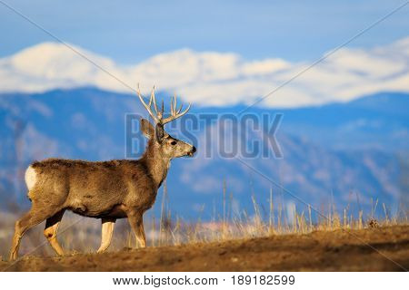 Statuesque 5-pointed buck deer against snow capped Rocky Mountains