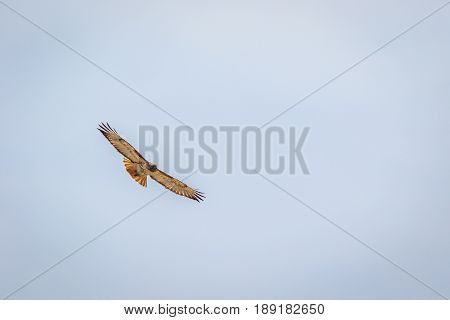 Red tailed hawk soaring straight at you against cloudy sky poster