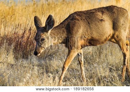 A doe female deer walking on the prairie in the early morning light.