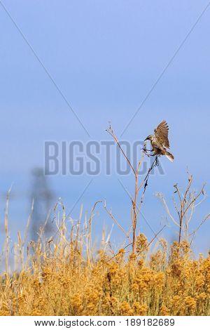 Eastern Meadowlark feet outstretched landing on a Sun Flower stalk