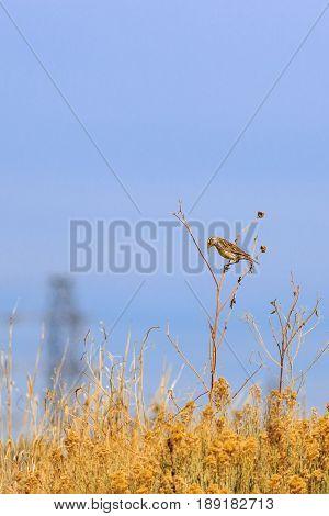Eastern Meadowlark head hung praying on a Sun Flower stalk
