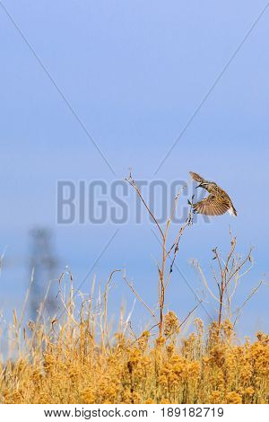 Eastern Meadowlark in flight to land on a Sun Flower