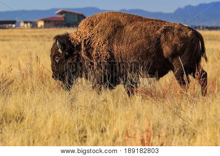 Bison on the prairie in front of the Rocky Mountain Arsenal Nationa Wildlife Refuge Visitor Center
