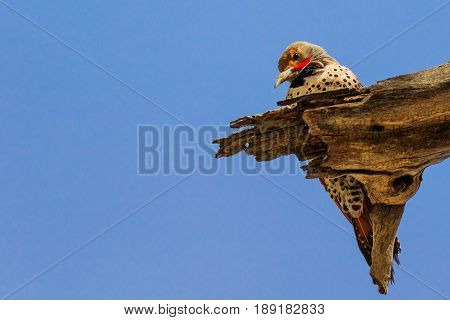 Gilded Flicker woodpecker perched on dead wood branch
