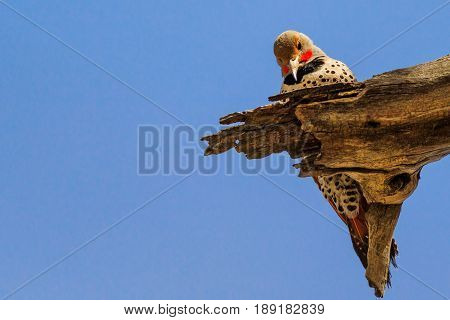 Gilded Flicker woodpecker pecking on dead wood branch