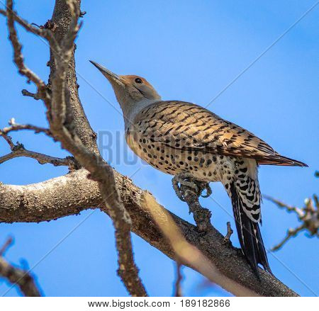 Northern Flicker striking a pose perched in a tree