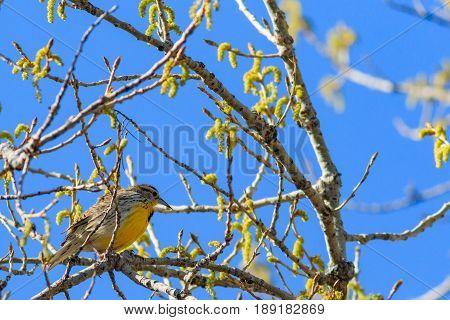 Eastern Meadowlark perched in tree blending in