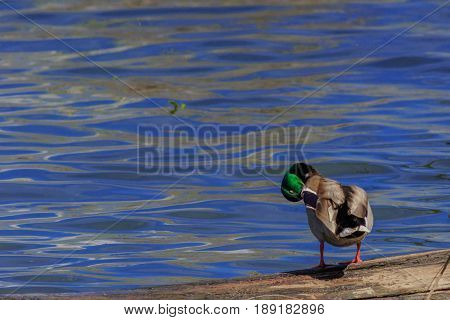 Mallard duck preening itself while standing on a log on a lake