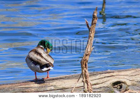 Mallard duck preening its wing feathers standing on a log