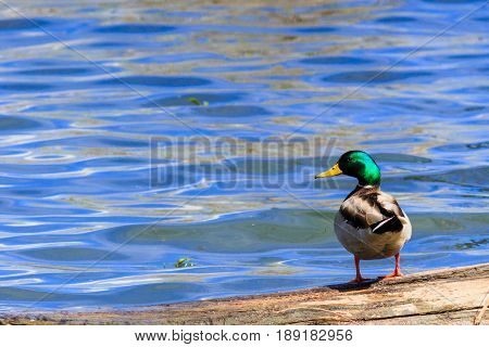 Mallard duck looking at you over its left shoulder against a blue lake.