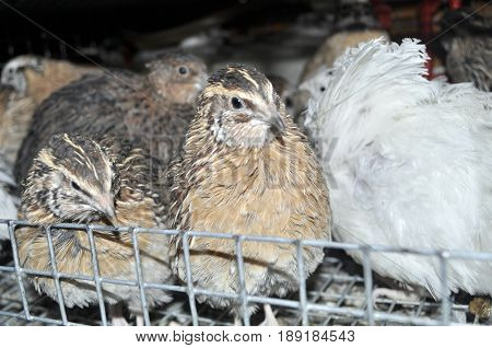 two texas quail in a cage with other birds including Manchurian quail, and white giant