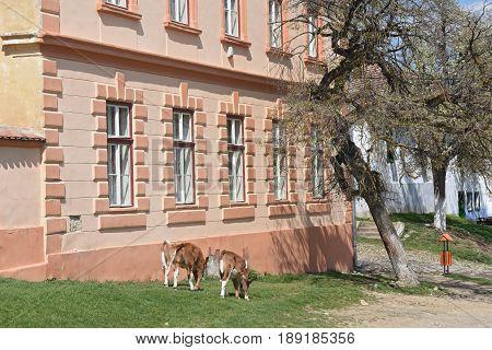 Cattle on the street of the traditional Romanian village of Viscri Transylvania Romania