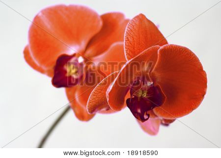 rote Orchidee, isolated on white background