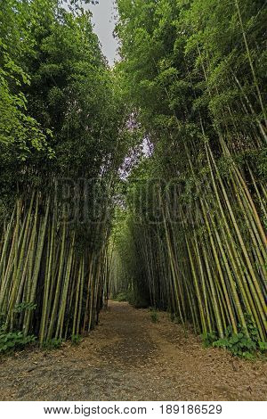 Walkway in a Bamboo Forest in Cherokee North Carolina