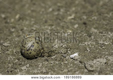 Avocet (Recurvirostra avosetta) egg. Wild bird egg rejected from nest. Solitary egg on the ground removed from nest. Illustrative of the Protection of Birds and Wildlife and Countryside Act.