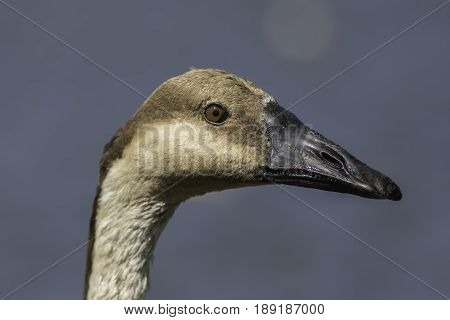 Swan goose (Anser cygnoides) head in close up against clean plain background.