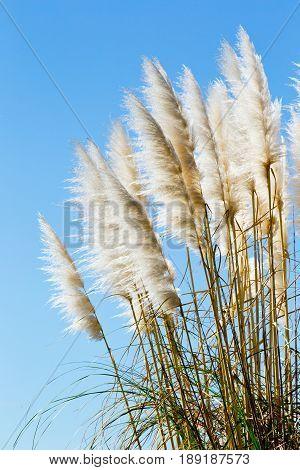 New Zealand native grass plant - Toitoi or Toetoe