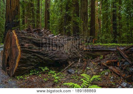 Avenue of the Giants at Redwood National Park - REDWOOD FOREST
