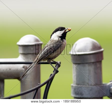 A Black-capped Chickadee travels the fence line gathering food to take to her young