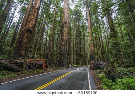Beautiful street through the Redwood Forest - REDWOOD FOREST