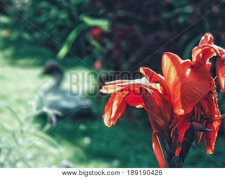 Flor roja con pato blanco en el fondo. Mérida, Venezuela