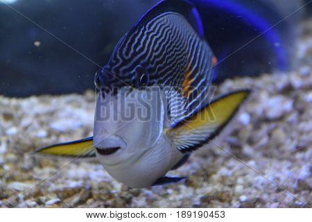 Beautiful Colorful Fish swimming in an Aquarium