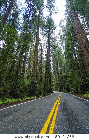 Awesome street view in the Redwood National Park - red cedar trees - REDWOOD FOREST