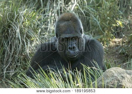 African lowland gorilla in natural habitat.