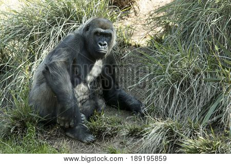 African lowland gorilla in natural setting