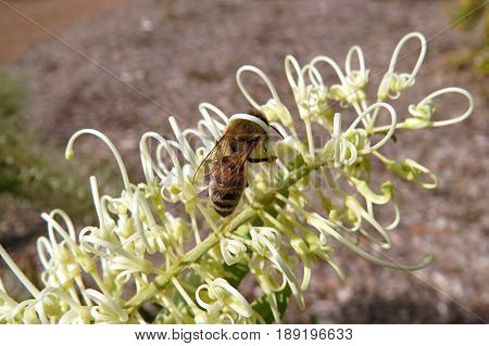 Grevillea cultivar Moonlight creamy Australian native loopy white flower bush with bee plant