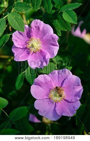 Wild Rose blossom. Wild Rose Country.  Edmonton. Ablerta. Canada.