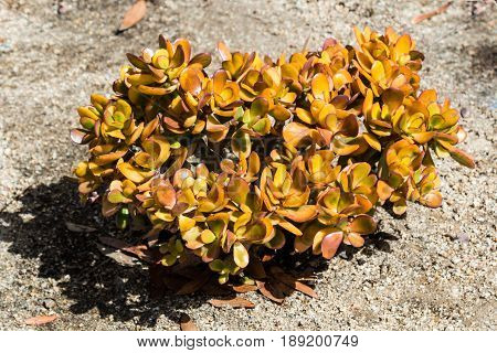 Crassula ovata plant, a succulent also called a jade plant, friendship tree, lucky plant, or money tree.