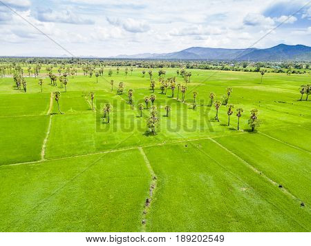 Sugar Palm Plantation And Rice Paddy
