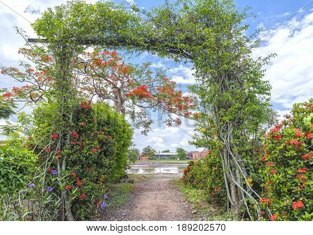 Red royal poinciana flowers bloom along the roadside land front gate as decoration more beautiful in the countryside of Vietnam
