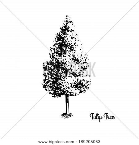 Vector sketch illustration of American Tulip Tree. Black silhouette of Yellow Poplar isolated on white background. Official state tree of Indiana, Kentucky and Tennessee.